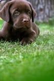 Labrador's puppy. On grass royalty free stock photo