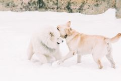 Labrador and Samoyed dog frolic. Labrador dogs and Samoyed playing together in the snow. Winter Royalty Free Stock Photos
