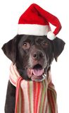 labrador santa Fotografering för Bildbyråer