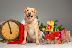 Labrador with Santa Hat. New Year's garland and Stock Photos