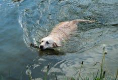 Labrador-Schwimmen mit einem Stock im Fluss Lizenzfreie Stockbilder