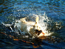 Labrador se sacude en el agua Fotografía de archivo