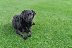 Labrador se trouvant sur l'herbe avec le secteur d'espace de copie image stock