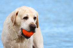 Labrador at the sea with a ball Stock Photos