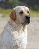 Labrador at the sea portrait Royalty Free Stock Image