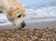 Labrador at the sea portrait close up Stock Photography
