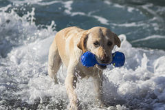 Labrador in the sea Royalty Free Stock Image