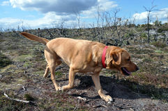 Labrador searching through fire damaged moorland New Forest Stock Photo