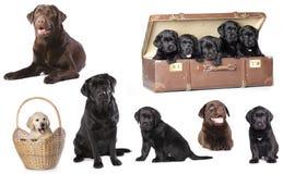 Labrador, set. Labrador puppies litter, dog family stock photos