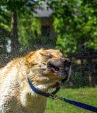 Labrador shaking Royalty Free Stock Photo