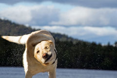 Labrador shaking the water off Royalty Free Stock Photo