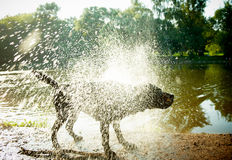 Labrador Shaking Water off its Body Royalty Free Stock Photography