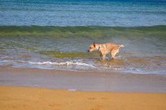 Labrador shaking water off in sea Royalty Free Stock Photo