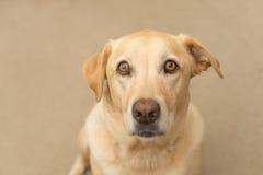 Labrador siedzi patrzeć wewnątrz kamera obrazy royalty free