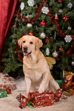 Labrador Royalty Free Stock Photos