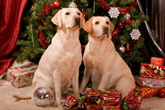 Labrador. Sitting at the Christmas tree Royalty Free Stock Photography