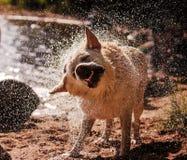 Labrador skakar av Arkivfoton