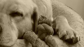 Dog - Labrador Royalty Free Stock Image
