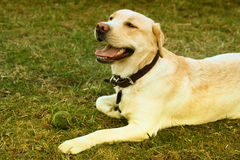 Labrador. Smiling happy Labrador is resting on the grass Stock Image
