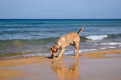 Labrador sniffing on the beach Royalty Free Stock Photo
