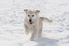 Labrador in snow Stock Images