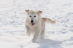labrador snow Arkivbilder