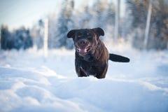 Labrador in the snow. Chocolate labrador in the snow Stock Photo