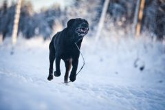 Labrador in the snow. Chocolate labrador in the snow royalty free stock photography