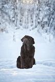 Labrador in the snow. Chocolate labrador in the snow royalty free stock image