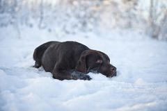 Labrador in the snow Stock Image