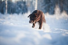 Labrador in the snow Royalty Free Stock Photos