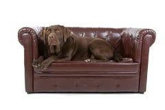Labrador on sofa stock photography