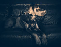 Labrador on Sofa Royalty Free Stock Images