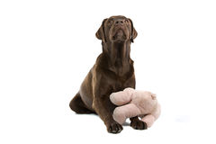 Labrador with soft toy Stock Photography
