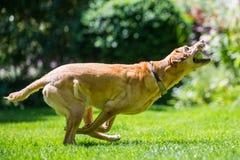 Labrador som fångar en boll från sidan på en solig dag royaltyfri bild