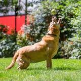 Labrador som fångar en bollpinne eller fest på en solig dag royaltyfria foton