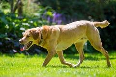 Labrador som går över gräs upp på en solig dag royaltyfri fotografi