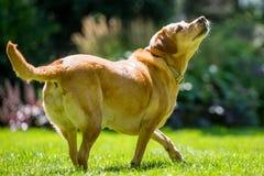 Labrador som går till sidan över gräs som ner ser upp på ett huvud för solig dag arkivbild