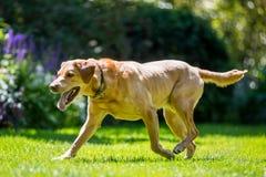 Labrador som går till sidan över gräs på en solig dag royaltyfri foto