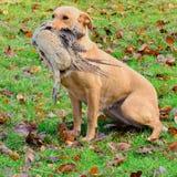 Labrador som hämtar pheasanten Royaltyfria Bilder