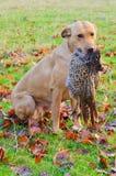 Labrador som hämtar pheasanten Arkivbild