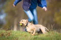 Labrador som jagas av ägaren Arkivfoto