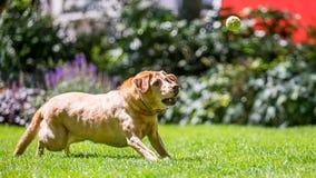 Labrador som kör för att fånga en bollpinne eller fest på en solig dag arkivfoton