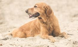 Labrador som ner ligger på stranden royaltyfria foton