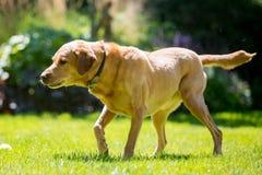 Labrador som ner ser till sidan i skugga på en solig dag arkivfoton
