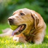 Labrador som rymmer ett bollslut upp framsidaståenden på en solig dag guld- arkivbild