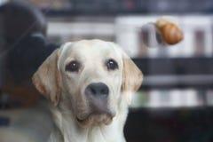 Labrador som ser snigeln på andra sidan av exponeringsglaset Royaltyfria Bilder