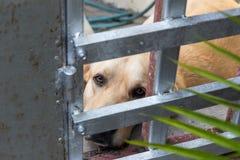 Labrador som ses till och med barrikaden arkivfoton