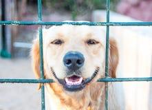 Labrador som ses till och med barrikaden Slut upp av liggande se för labrador ut ur barriärstaketet, dåligt barrikaderat royaltyfri fotografi