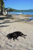 Labrador som sover på den sandiga stranden i Costa Rica Royaltyfri Foto